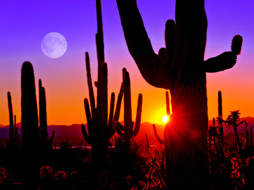 Cacti at sunset in Tucson
